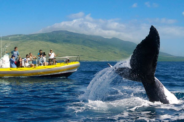 Whale-watching off the coast of Maui